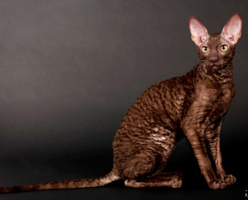 Le Cornish rex FFF