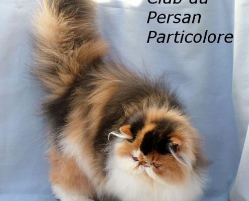 Club du Persan Particolore
