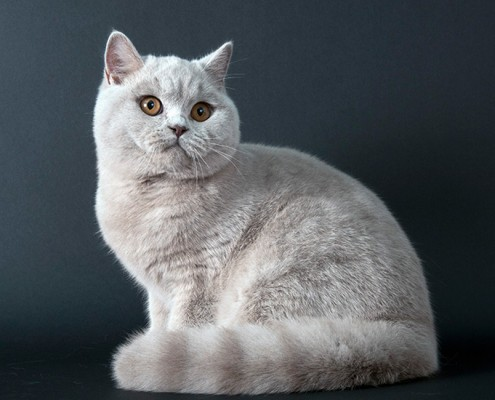 British Shorthair - fff