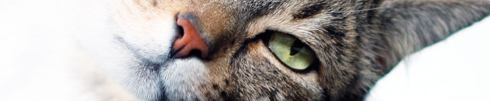 fédération féline française chat