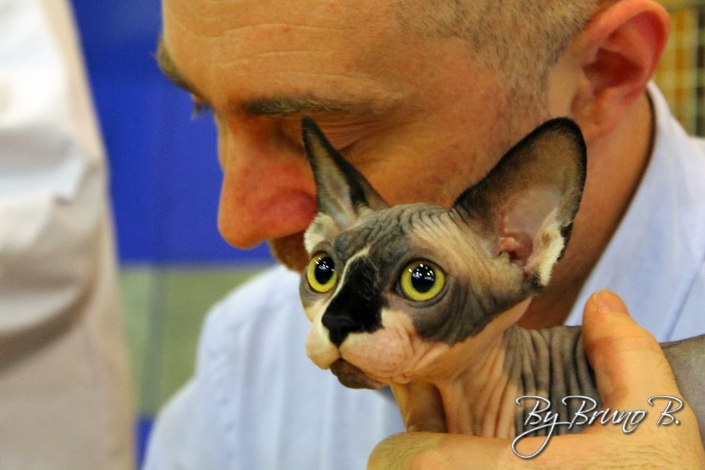 Sphynx Fff Le Site De La Federation Feline Francaise